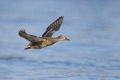 θηλυκός πετώντας πρασιν&omicro Στοκ Φωτογραφία