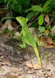 Θηλυκός πράσινος βασιλίσκος, Basiliscus plumifrons Στοκ εικόνα με δικαίωμα ελεύθερης χρήσης