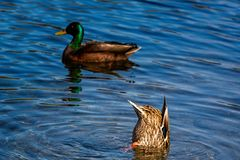 Θηλυκός πρασινολαίμης με το κεφάλι στο νερό και κατώτατο σημείο που κολλά επάνω στοκ φωτογραφία με δικαίωμα ελεύθερης χρήσης