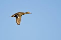 θηλυκός πρασινολαίμης πτήσης παπιών Στοκ Εικόνες