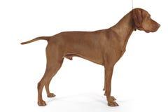 θηλυκός χοίρος σκυλιών που συσσωρεύεται στοκ φωτογραφίες με δικαίωμα ελεύθερης χρήσης