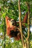 Θηλυκός orangutan Sumatran με μια συνεδρίαση μωρών σε ένα δέντρο σε Gunun Στοκ Εικόνα