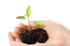 θηλυκό δέντρο φυτεύσιμου φυταρίου χεριών Στοκ Φωτογραφίες