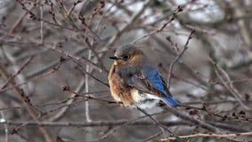Θηλυκό ανατολικό Bluebird κατά τη διάρκεια του χειμώνα φιλμ μικρού μήκους
