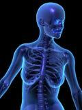 θηλυκό ανθρώπινο skelet Χ ακτίνω Στοκ εικόνες με δικαίωμα ελεύθερης χρήσης
