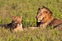 θηλυκό αρσενικό ζευγάρι λιονταριών Στοκ Φωτογραφίες