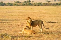 θηλυκό αρσενικό λιονταρ& Στοκ Εικόνα