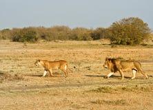 θηλυκό αρσενικό λιονταρ& Στοκ εικόνα με δικαίωμα ελεύθερης χρήσης