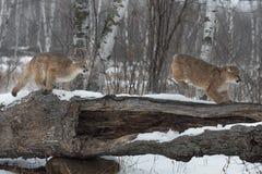 Θηλυκό αυλάκωμα concolor Cougars Puma πέρα από το κούτσουρο στοκ φωτογραφίες με δικαίωμα ελεύθερης χρήσης