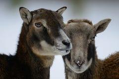 Θηλυκό επικεφαλής πορτρέτο Mouflon, χειμώνας Στοκ εικόνα με δικαίωμα ελεύθερης χρήσης