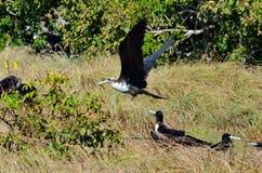 Θηλυκό θαυμάσιο Frigatebird Στοκ Εικόνα