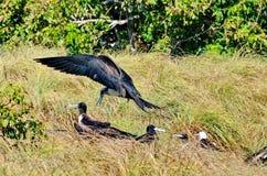 Θηλυκό θαυμάσιο Frigatebird Στοκ εικόνες με δικαίωμα ελεύθερης χρήσης