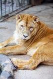 θηλυκό λιοντάρι κλουβιώ& Στοκ Εικόνα