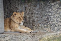 Θηλυκό λιοντάρι που στηρίζεται στο ζωολογικό κήπο Άμστερνταμ Artis τις Κάτω Χώρες Στοκ φωτογραφία με δικαίωμα ελεύθερης χρήσης