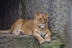 Θηλυκό λιοντάρι που στηρίζεται στο ζωολογικό κήπο Άμστερνταμ Artis τις Κάτω Χώρες Στοκ Εικόνα