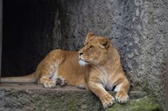 Θηλυκό λιοντάρι που στηρίζεται στο ζωολογικό κήπο Άμστερνταμ Artis τις Κάτω Χώρες Στοκ Εικόνες