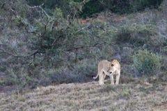Θηλυκό λιοντάρι στο εθνικό πάρκο ελεφάντων του Aldo στοκ φωτογραφίες