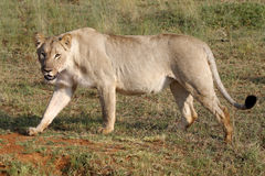 θηλυκό λιοντάρι Στοκ φωτογραφίες με δικαίωμα ελεύθερης χρήσης