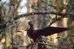 Θηλυκό πουλί Anhinga αποκαλούμενο anhinga Anhinga Στοκ Φωτογραφίες