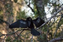 Θηλυκό πουλί Anhinga αποκαλούμενο anhinga Anhinga Στοκ εικόνες με δικαίωμα ελεύθερης χρήσης