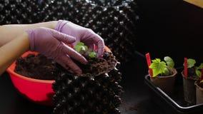 Θηλυκό που φυτεύει τις μικρές εγκαταστάσεις αγγουριών στα μεγαλύτερα αέρας-δοχεία Προετοιμασία σε θερινή περίοδο στον κήπο απόθεμα βίντεο