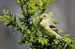 θηλυκό σκαρφαλωμένο goldfinch δέντρο κέδρων Στοκ Εικόνα