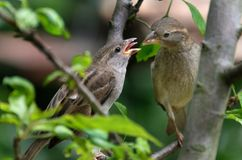 Θηλυκό σπουργίτι σπιτιών που ταΐζει το νέο πουλί Στοκ Εικόνες