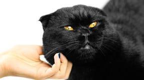 Θηλυκό χέρι που κτυπά τη σοβαρή μαύρη γάτα με τα κίτρινα μάτια στο σκοτάδι Στοκ εικόνες με δικαίωμα ελεύθερης χρήσης