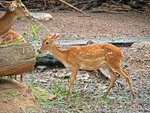 Θηλυκό angasii Nyala ή Tragelaphus που τρώει τη χλόη στην πλάτη φύσης Στοκ Φωτογραφίες
