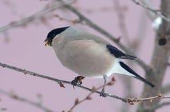 Θηλυκό bullfinch Στοκ Φωτογραφίες