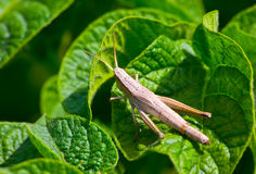 θηλυκό grasshopper στοκ εικόνες με δικαίωμα ελεύθερης χρήσης