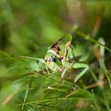 θηλυκό grasshopper Στοκ εικόνα με δικαίωμα ελεύθερης χρήσης