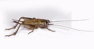 θηλυκό gryllus πεδίων γρύλων assimilis Στοκ Φωτογραφίες