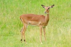 θηλυκό impala Στοκ Φωτογραφία
