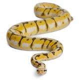 θηλυκό killerbee σφαιρών python βασιλ&iota Στοκ εικόνα με δικαίωμα ελεύθερης χρήσης