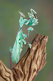 Θηλυκό Mantis Στοκ Εικόνες