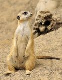 θηλυκό meerkat Στοκ Εικόνες