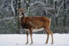 Θηλυκό Mouflon το χειμώνα Στοκ Φωτογραφίες