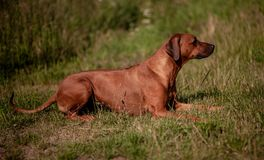 Θηλυκό Ridgeback Rhodesian - σκυλί που βρίσκεται στη χλόη στοκ εικόνες