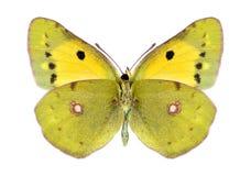 θηλυκό underside crocea colias πεταλούδων Στοκ φωτογραφίες με δικαίωμα ελεύθερης χρήσης