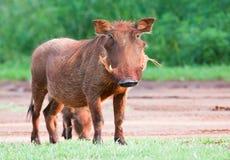 θηλυκό warthog Στοκ Εικόνα