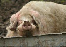 θηλυκών χοίρων Στοκ φωτογραφία με δικαίωμα ελεύθερης χρήσης
