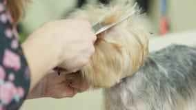 Θηλυκά χέρια, καλλωπισμός σκυλιών απόθεμα βίντεο