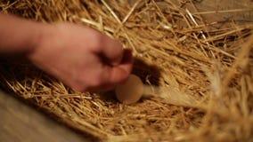 Θηλυκά χέρια που παίρνουν τα αυγά φιλμ μικρού μήκους
