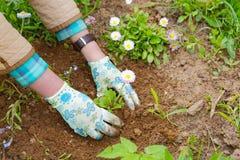 Θηλυκά χέρια που φυτεύουν ένα λουλούδι Στοκ Φωτογραφία