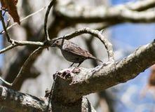 Θηλυκά Cowbird & x28 3& x29  Στοκ Φωτογραφίες