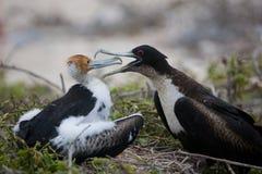 Θηλυκές ταΐζοντας νεολαίες Frigatebird Στοκ φωτογραφία με δικαίωμα ελεύθερης χρήσης