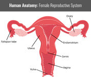 Θηλυκή αναπαραγωγική λεπτομερής σύστημα ανατομία Διάνυσμα ιατρικό Στοκ Φωτογραφία