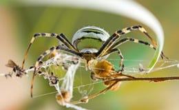θηλυκή αράχνη Argiope Bruennichi στο φυσικό βιότοπό τους Στοκ Φωτογραφία