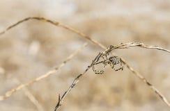 Θηλυκή αράχνη lobata Argiope που στηρίζεται έναν Ιστό αραχνών στη φύση σε μια θερινή ημέρα Στοκ φωτογραφίες με δικαίωμα ελεύθερης χρήσης